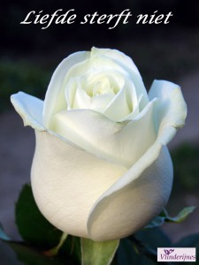close-up of a white rose